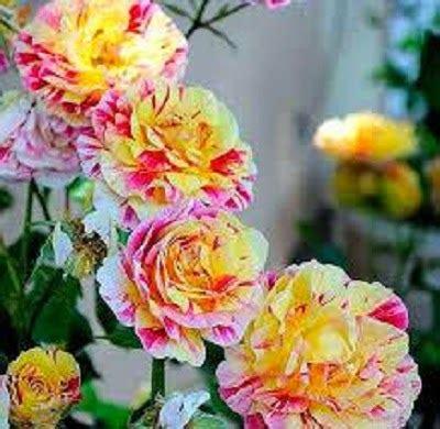 jual benih bibit bunga mawar candy budidaya tanaman
