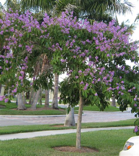 Small Home Building by Lagerstroemia Speciosa Lagerstroemia Flos Reginae Queens