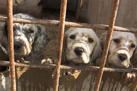 puppy mills and backyard breeders with images