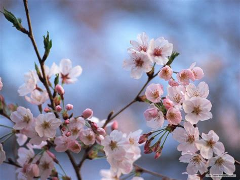 cherry blossoms cherry blossom desktop wallpapers wallpaper cave