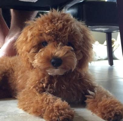 goldendoodle central goldendoodle central ny 25 best ideas about australian