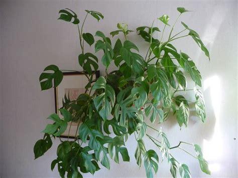 Délicieux Plante Verte Retombante D Interieur #3: e7a85781a58f9648b2bd724c2182848e.jpg