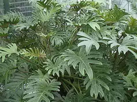 Houseplant For Low Light by Philodendron Plants How To Grow And Care For
