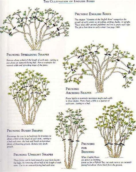 pruning roses roses and english roses on pinterest