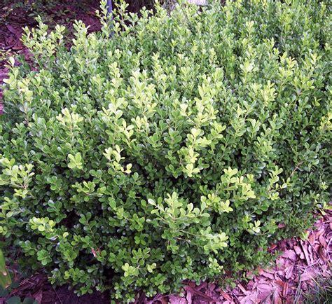 pretty japanese boxwood shrubs unpruned gardening pinterest japanese boxwood boxwood