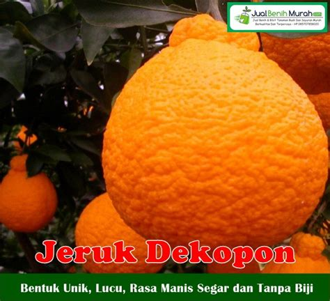 Bibit Jeruk Dekopon buah jeruk dekopon jualbenihmurah