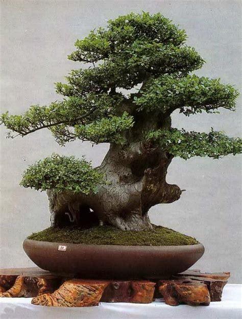 Bor Bonsai beautiful bonsai bonsai trees