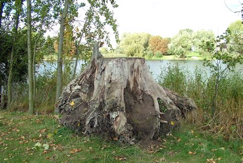 tree stump uprooted tree stump free stock photo domain pictures