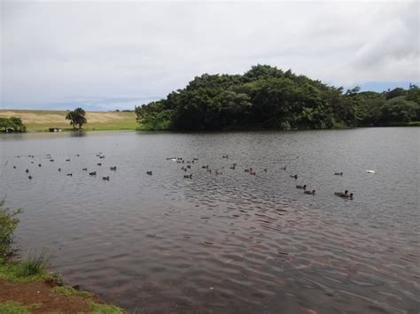 Hoomaluhia Botanical Garden Fishing Ducks And Koi Fish Picture Of Hoomaluhia Botanical Gardens Kaneohe Tripadvisor