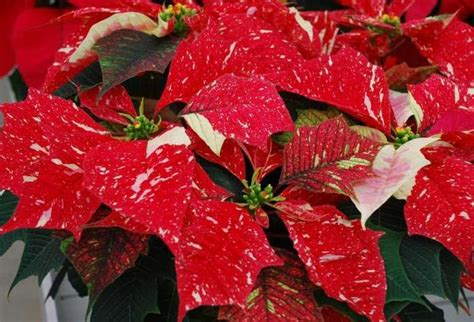google images poinsettia 1000 images about poinsettia s on pinterest spotlight