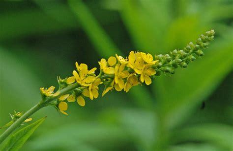 fiori di bach e ansia fiori di bach per ansia come combatterla in modo naturale