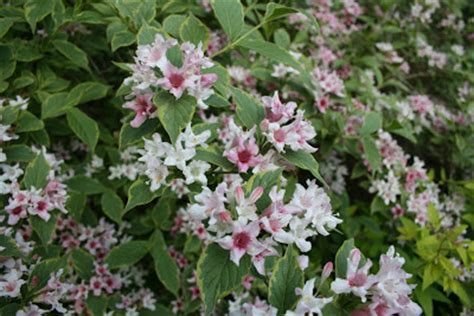 shrub with pink flowers heirloom gardener weigela pink and white