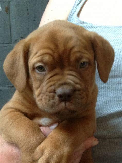 dogue de bordeaux puppy ready now dogue de bordeaux puppies norfolk pets4homes