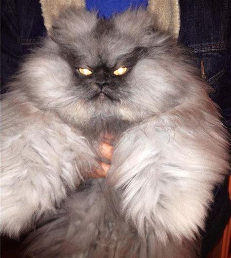 6901 Setelan Cat Meow Denim meet colonel meow the s angriest cat 17 pics pleated