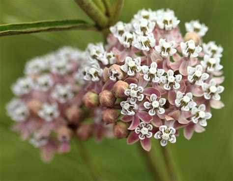 asclepias fascicularis quot narrow leaved milkweed quot buy
