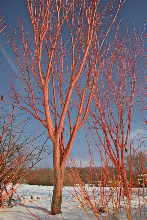 ecorce decorative 10 arbres 224 cultiver pour leurs sublimes 233 corces