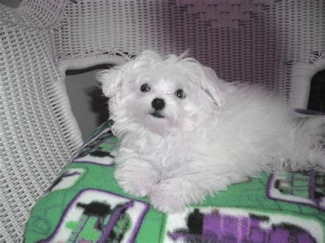 maltese puppies for sale in nh puppies for sale maltese maltese f category in rindge new hshire