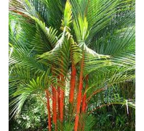 biggest online plants store buy redneck palm online at cheap price india s biggest