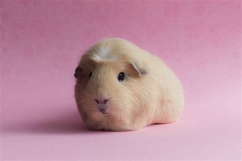 pig background guinea pig wallpapers wallpaper cave