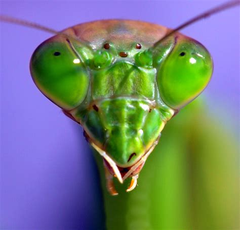Praying Mantis L by Mantis Camouflage All You Need Is Biology