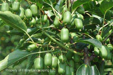 kiwi fruit trees for sale edible landscaping plant sale buy plants from our