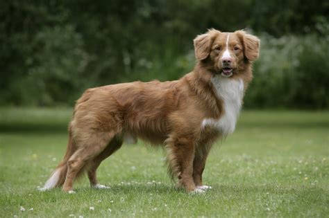 duck tolling retriever puppy about scotia duck tolling retriever