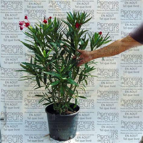 Arrosage Lauriers Roses by Arrosage Laurier En Pot Maison Design Apsip