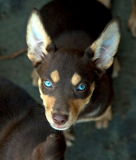 kelpie puppy kelpie pup from australian working rescue animal rescue beautiful