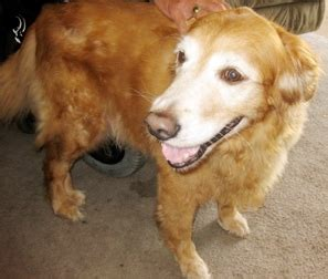 14025 Goldie Emerald Coast Golden Retriever Rescue