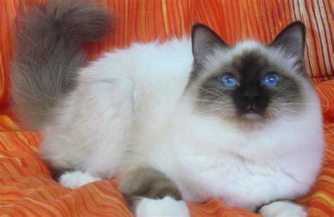los das de birmania 8483466570 gato sagrado da birm 226 nia pre 231 o quanto custa um