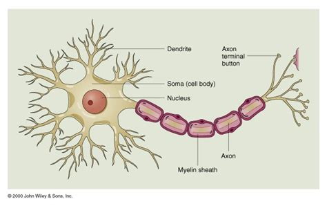 diagram of a brain cell all about the brain part 1 171 disjointed thinking