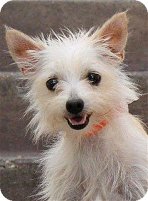 cairn terrier pomeranian mix betsy adopted la habra heights ca cairn terrier pomeranian mix