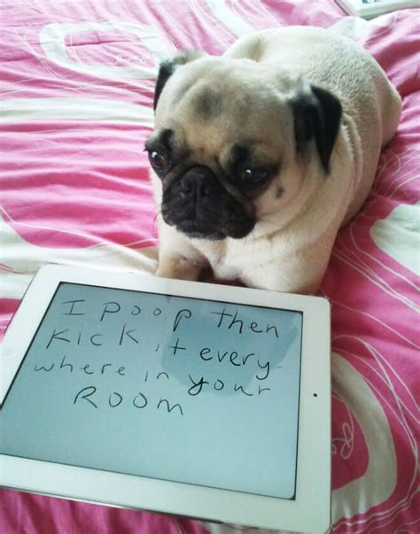 my pug ate chocolate 15 pug shaming pictures of pugs who did the crime and now doing the time