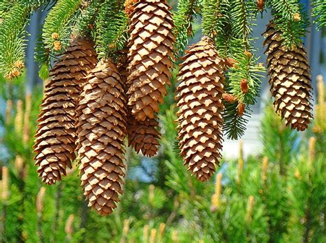pinecone tree golden pine cones art prints pine trees baslee troutman by
