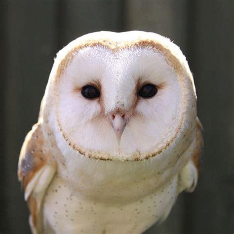 How Big Are Barn Owls lud 29 04 14 4004550 do dil bandhe ek dori se forum