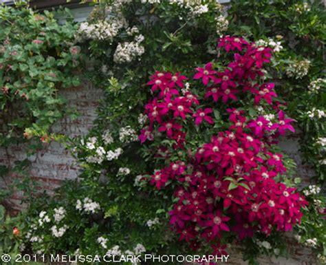 Pink Combination clematis combinations garden shoots