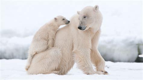 oso polar oso polar 080506902x el g 233 lido h 225 bitat del oso polar