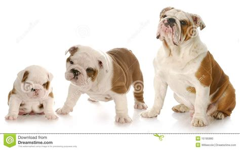 puppy stages puppy growth stock photo stages of puppy growth bulldog breeds picture