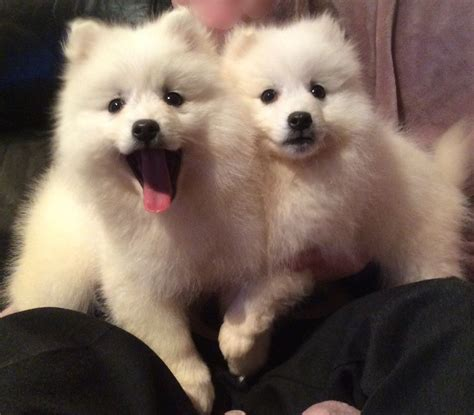 spitz puppies gorgeous happy healthy japanese spitz puppies banff banffshire pets4homes