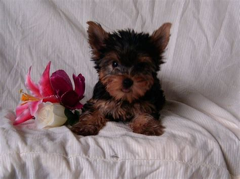 pics of yorkies puppies pruitt s yorkie puppies for sale