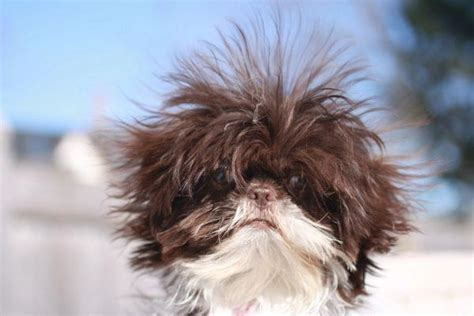 shih tzu and bad 105 best shih tzu hair cuts images on shih tzus hair cut and shih tzu
