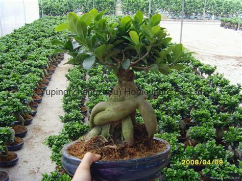 Ginseng China ficus microcarpa ficus ginseng china manufacturer