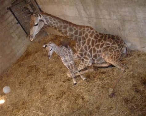 imagenes de animales naciendo m nace un beb 233 jirafa de dos metros de altura en selwo