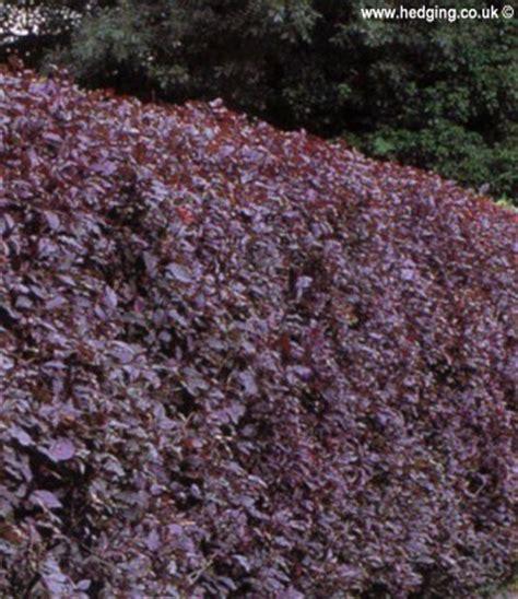 plum purple leaved prunus cerasifera nigra plum purple