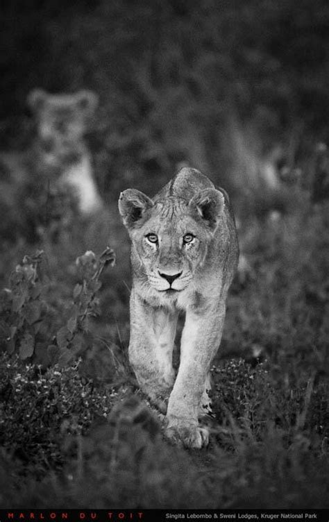 1000+ images about Lioness on Pinterest | Lion art, Pin up