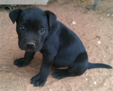 black pitbull puppy pitbull black and white