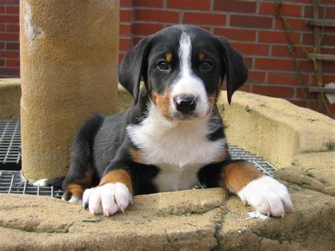 appenzeller sennenhund puppies appenzeller mountain info temperament puppies pictures