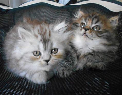 gatti persiani torino fantastici cuccioli persiani vari colori a torino kijiji