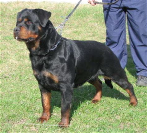 rottweiler puppies for sale kansas city rottweiler breeders kansas city dogs in our photo