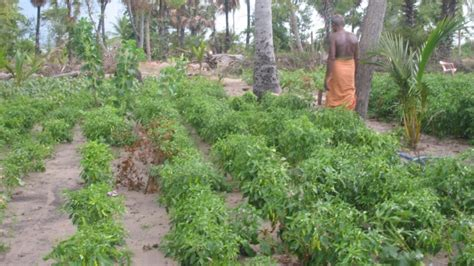 promotion of cultivating vegetables fruits yams and
